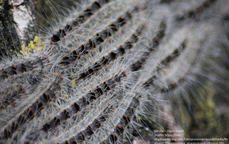 gąsienica korowódka dębówka