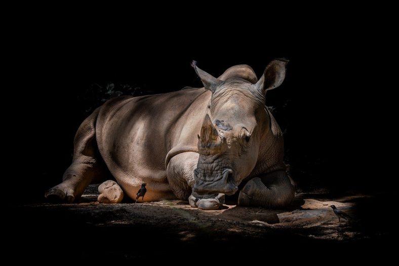 narodziny czarnego nosorożca