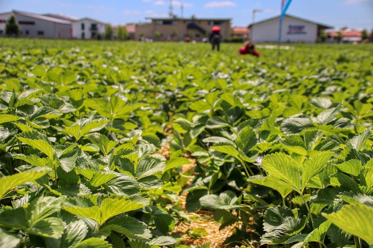 truskawki zbior praca w Holandii