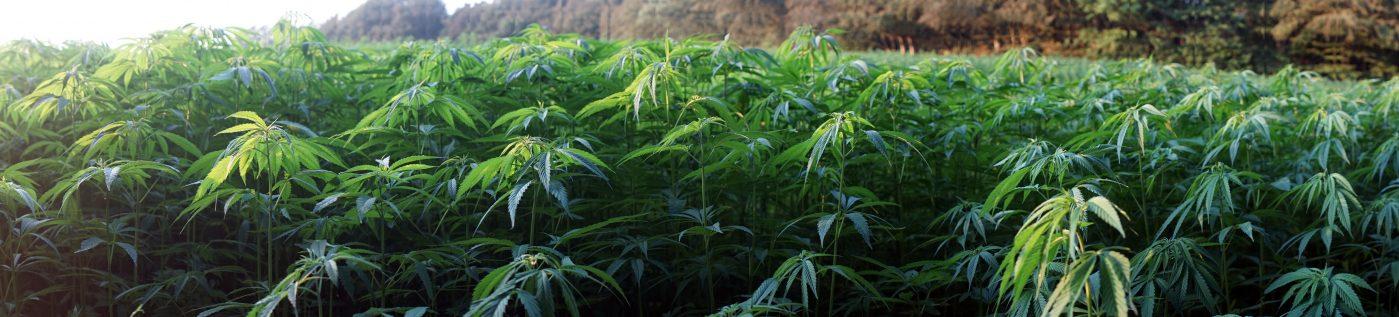 Legalna marihuana coraz dalej. Gminy wycofują się ze sprzedaży konopii