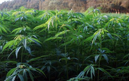 posłowie d66 chcą liberalizacji dostępu do marihuany