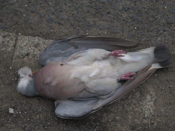 Kilkadziesiąt martwych gołębi w Lelystad