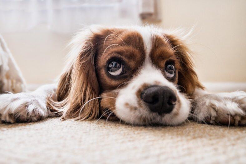 posiadanie psa w Holandii - przepisy