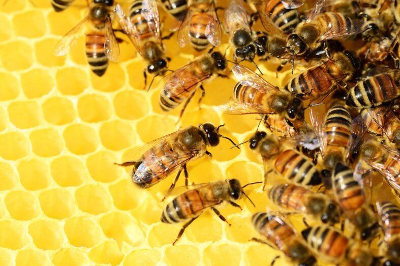pszczoły wykrywają COVID-19