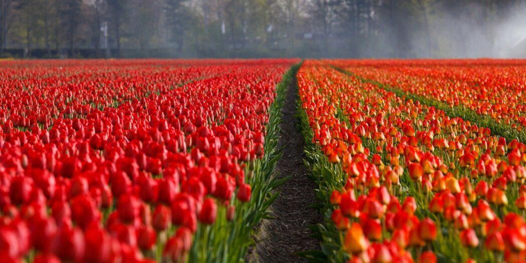 kwiaty z Polski jadą do Holandii