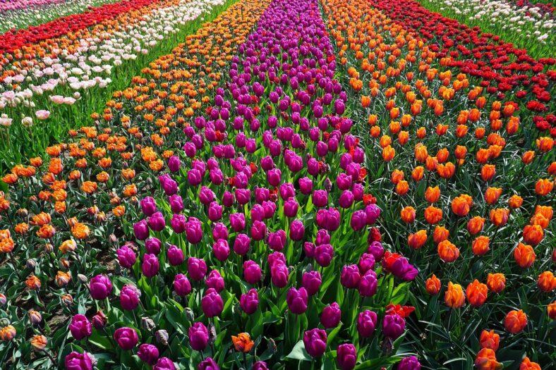 niedobór tulipanów w Holandii