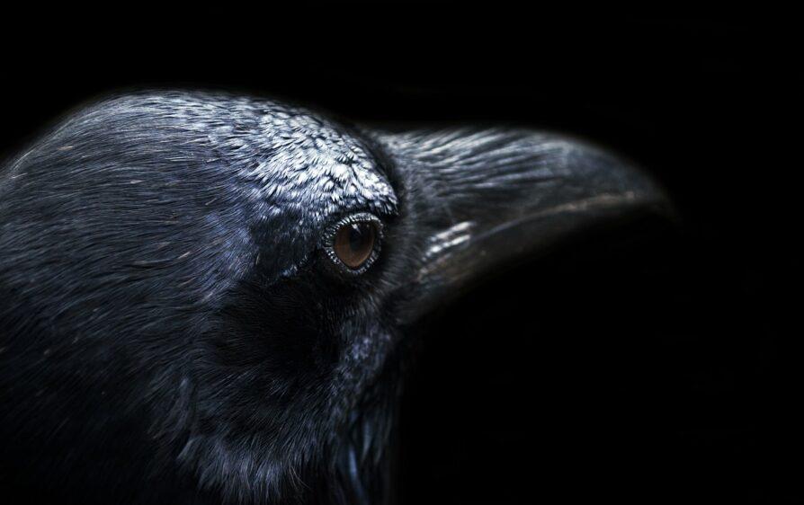 ptaki atakują mieszkańców Maarssen