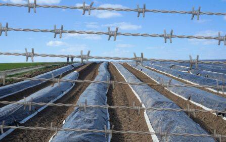 obóz pracy przy polu szparagów w Maasgouw
