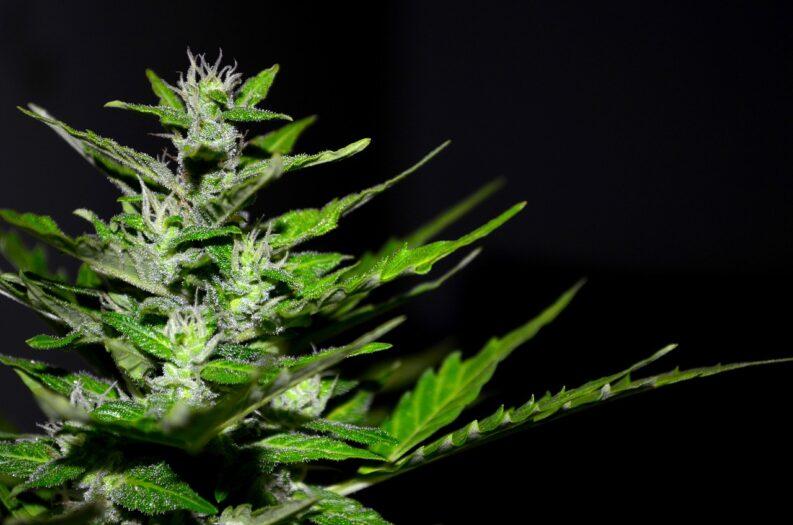 Jeszcze długo nie będzie legalnej marihuany w Holandii