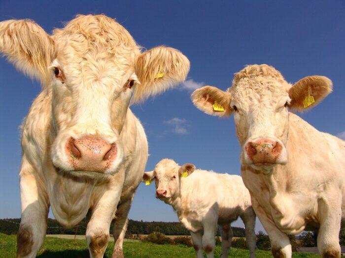 krowy na gigancie