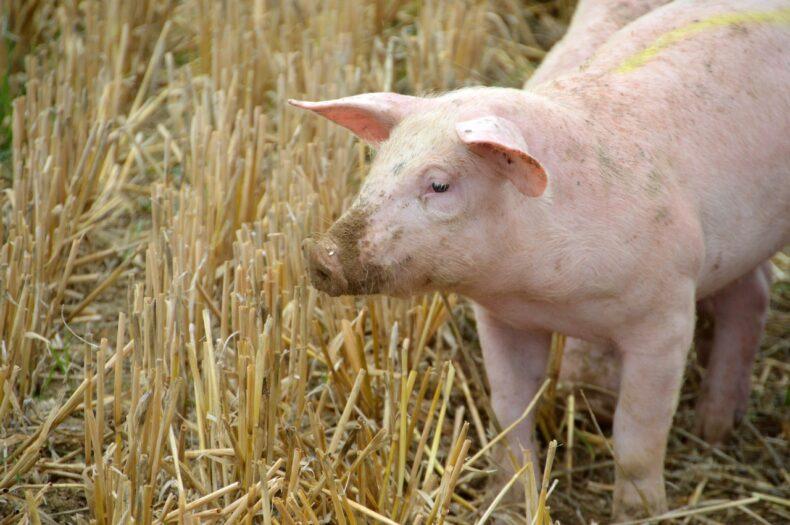 prędzej świnie zaczną latać